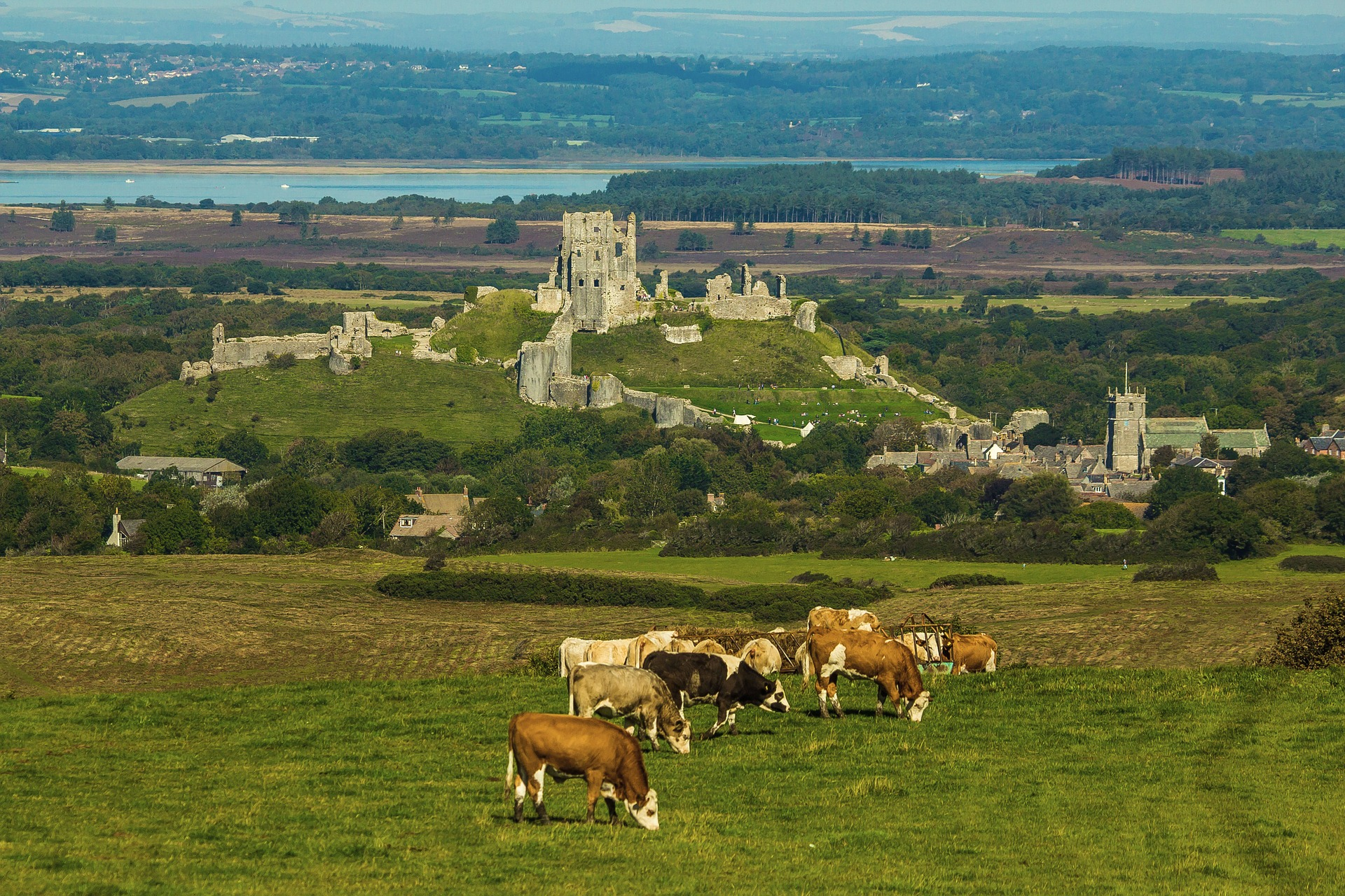 Cows grazing in a field in front of a medieval castle in the rolling hills of England